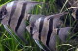 Аквариумные рыбки Скалярии XL