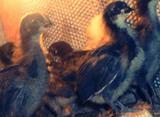 Цыплята домашние подрощенные