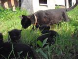 Отдам котят возраст 1 месяц породы Пантера бомбей.